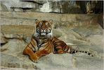 """(B) Mein Freund der """"Sumatra-Tiger"""" ..."""