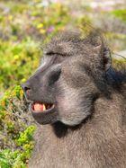 Baboon am Cape of Good Hope