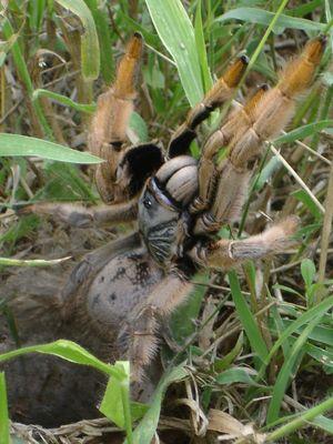 Baboon Spider Kruger Park