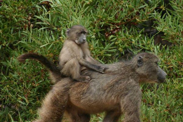Baboons auf der Straße zum Cape Point
