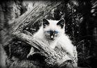 Baby Angora aus der Korsische Wildheit