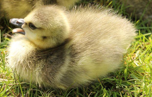 Baby Canadian gosling