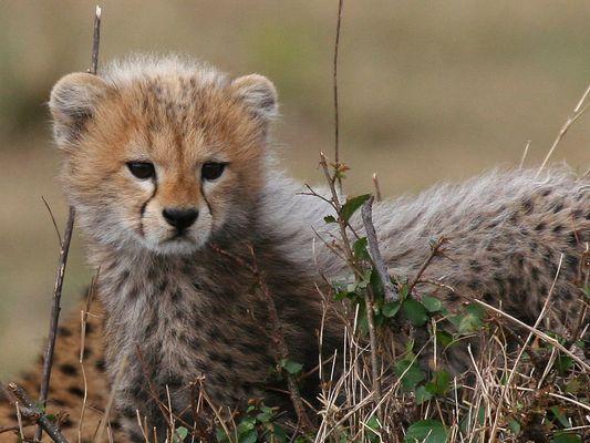 Baby Cheetah #1