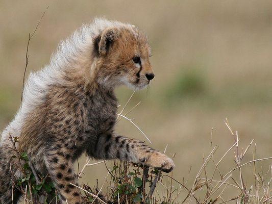 Baby Cheetah #3
