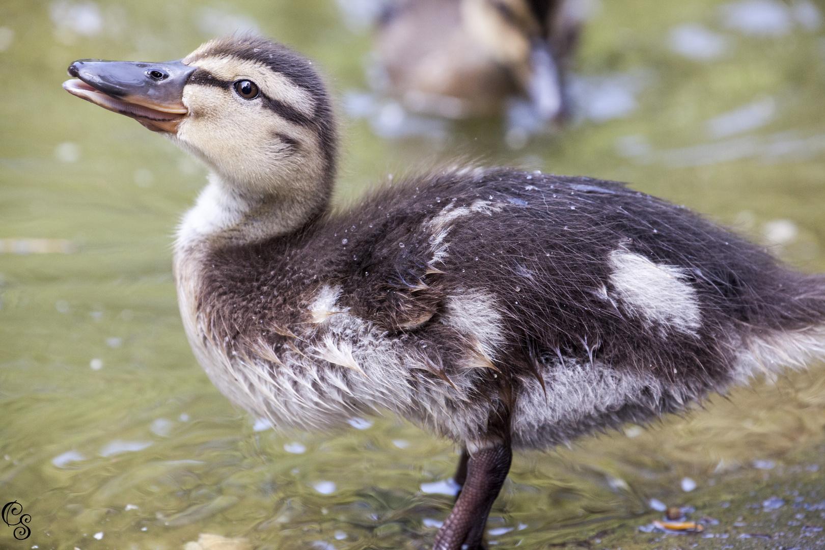 Baby Ente beim Wasser trinken
