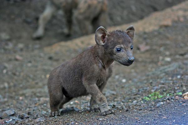 Baby-Hyäne im Kruger National Park Südafrika
