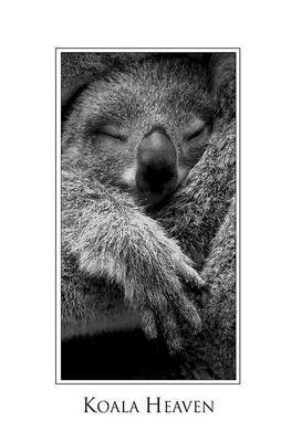 Baby Koala Dreaming...