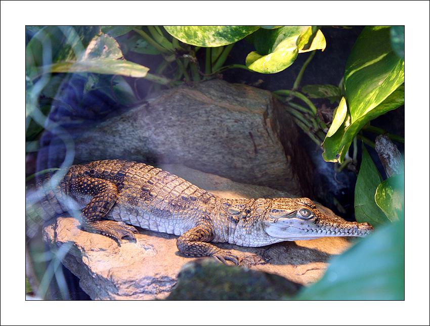 Baby Kroko