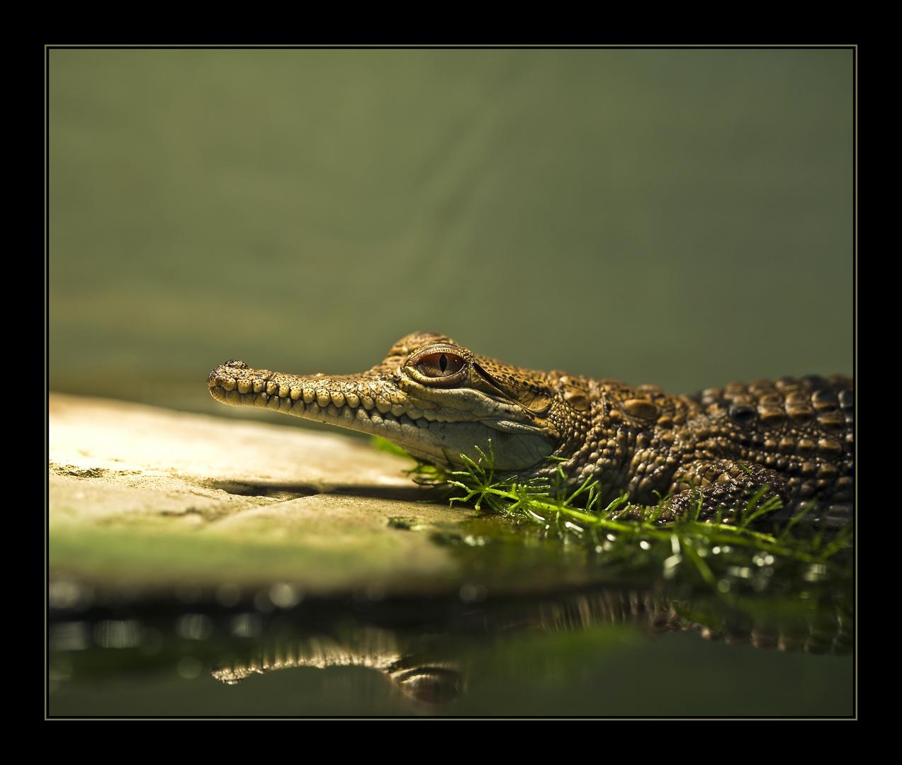 ~ Baby-Krokodil ~