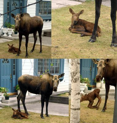 Baby moose 1