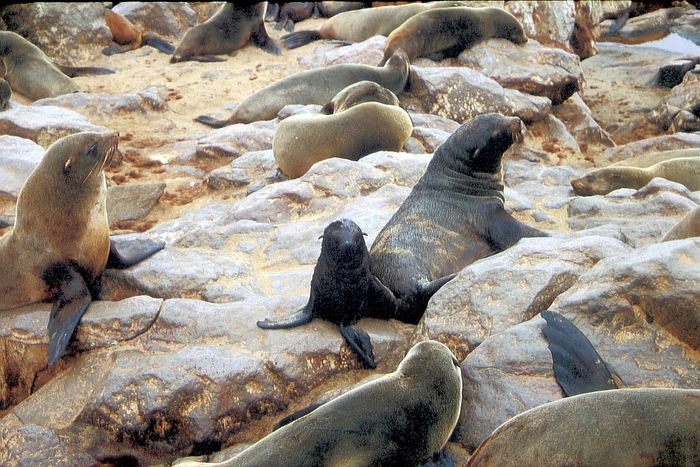 Baby-Robbe bei Cape Cross