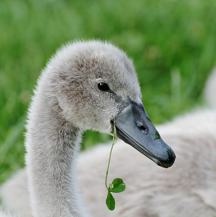 baby schwan