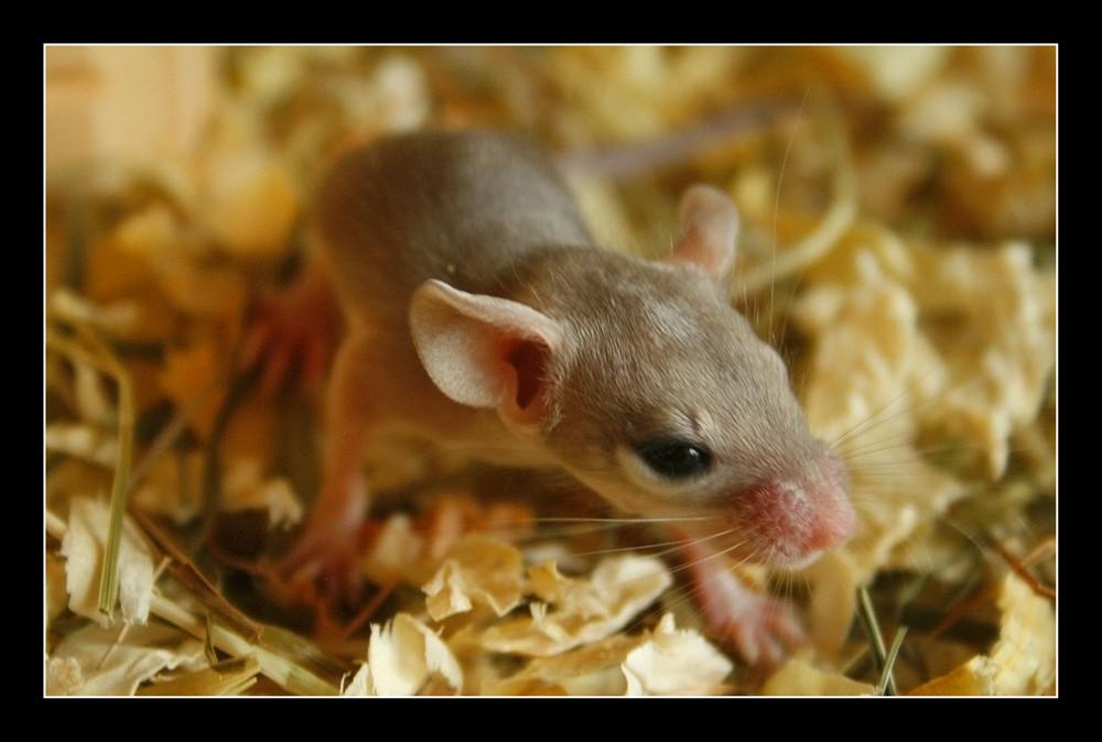 Baby Stachelmaus