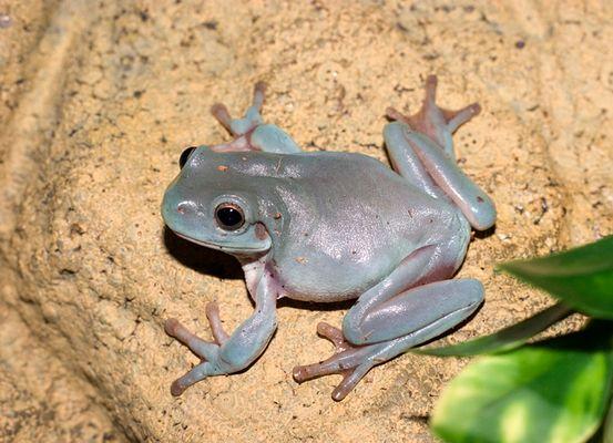 Baby Whites Tree frog 2
