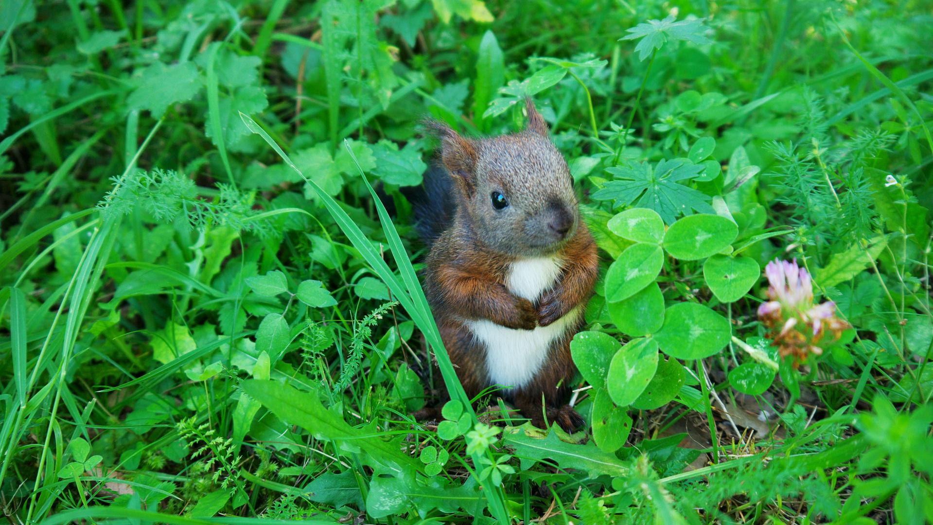 Babyeichhörnchen