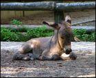 Babyesel im Tierpark