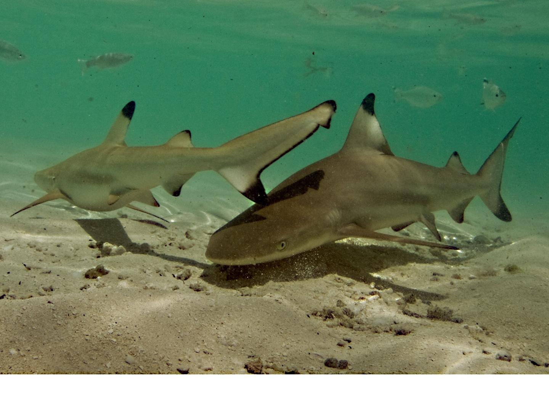 Babyhaie in der Lagune
