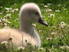 Babyschwan ganz träumerisch