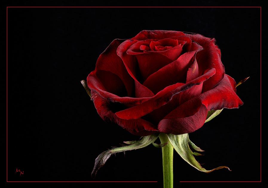 baccara foto bild pflanzen pilze flechten bl ten kleinpflanzen rosen bilder auf. Black Bedroom Furniture Sets. Home Design Ideas