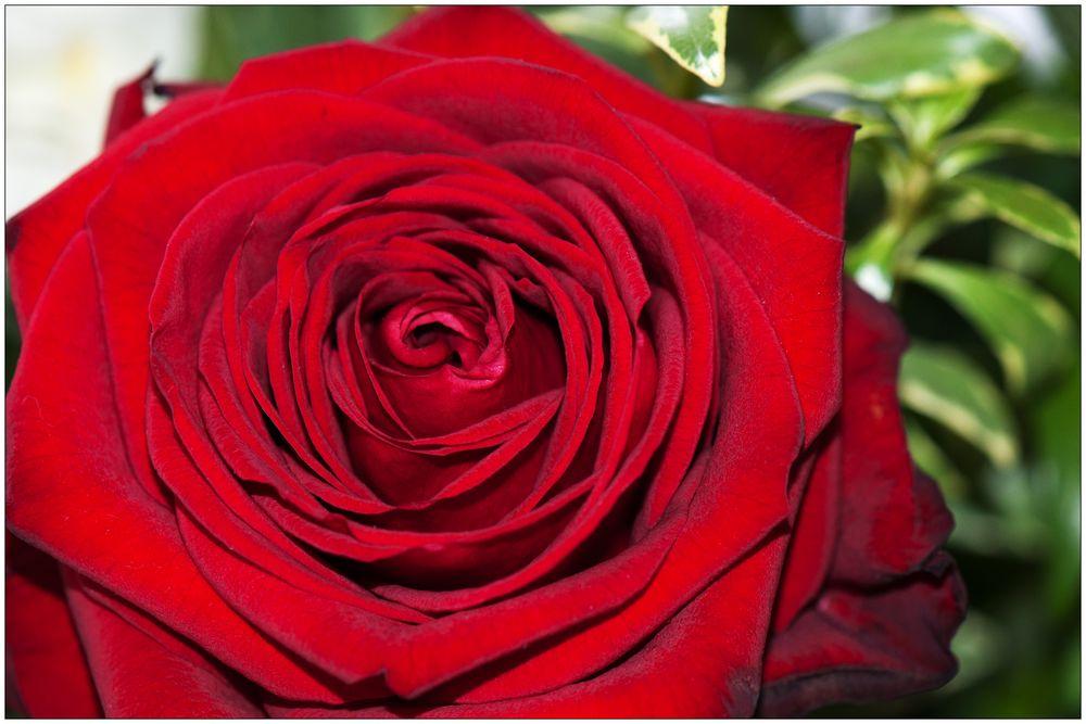 baccara rose foto bild pflanzen pilze flechten bl ten kleinpflanzen rosen bilder auf. Black Bedroom Furniture Sets. Home Design Ideas