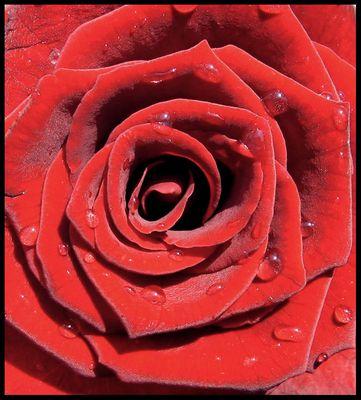 Baccara Rose