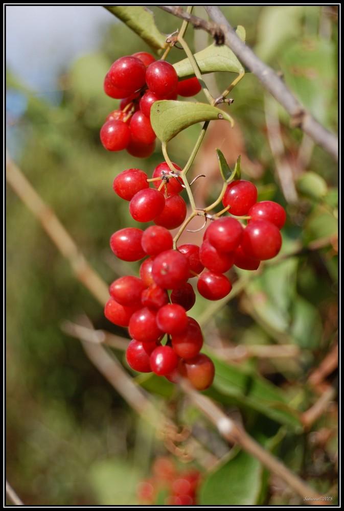 bacche rosse foto immagini piante fiori e funghi