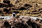 Bachstelze beim Nestbau