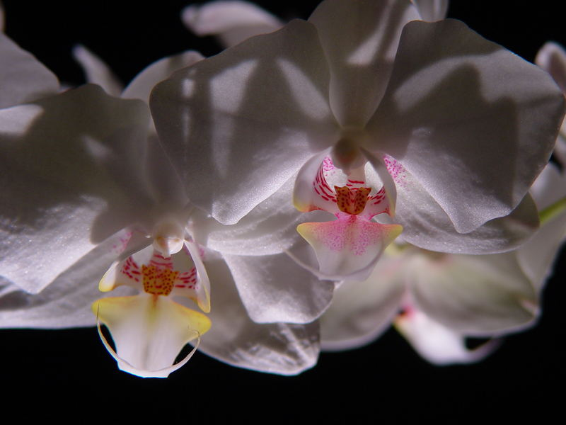Back lit orchids. Comments welcome