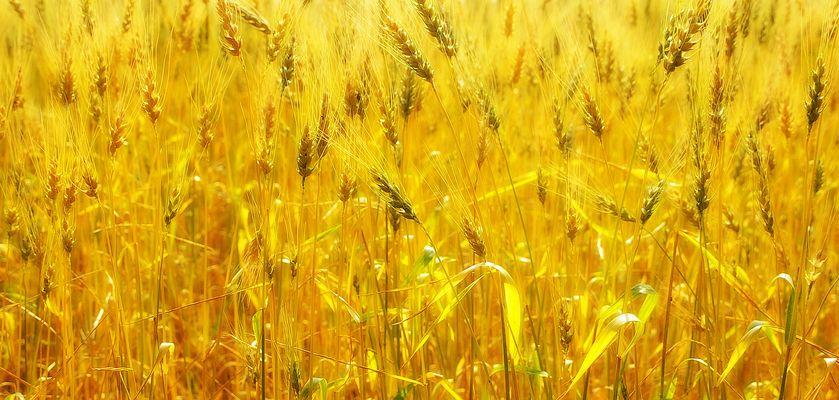 Backlit Wheatfield