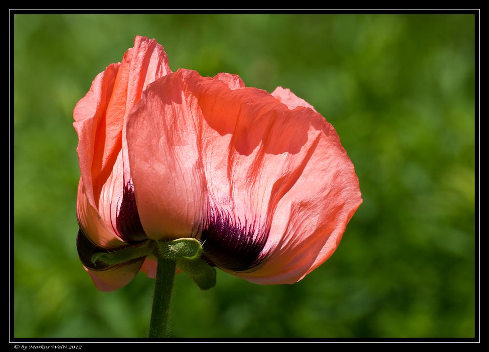 backside of the poppy