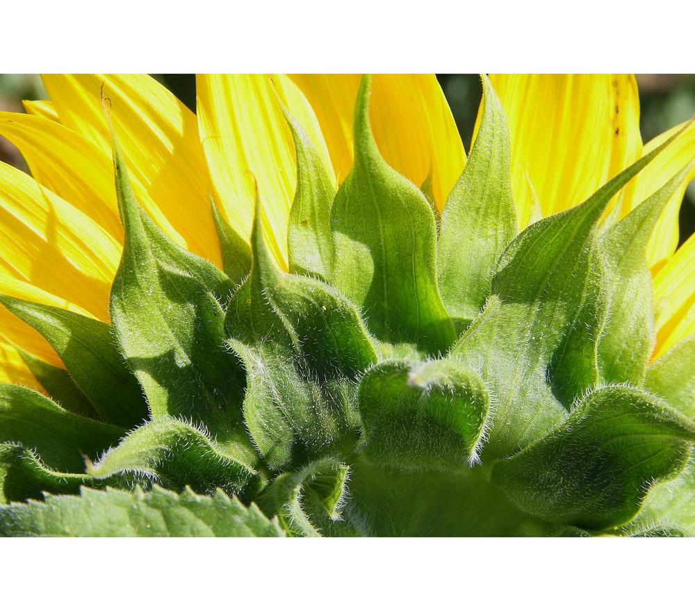 Backside of the Sunflower