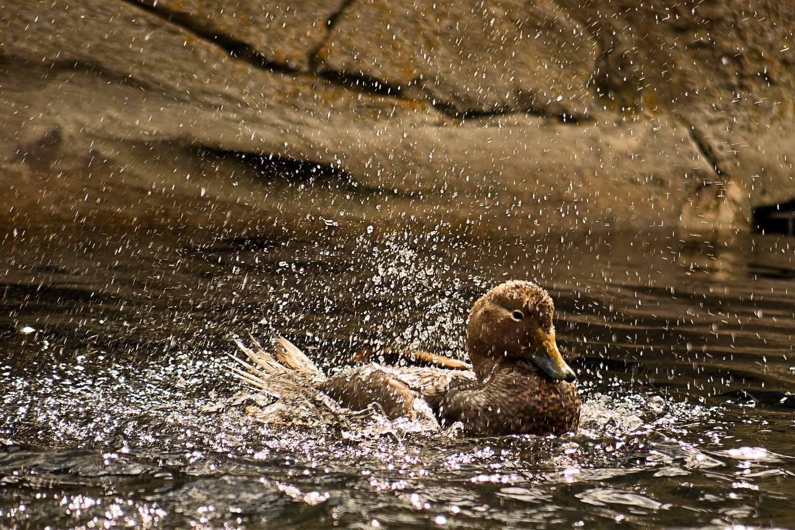 Badeente im Zoo am Meer