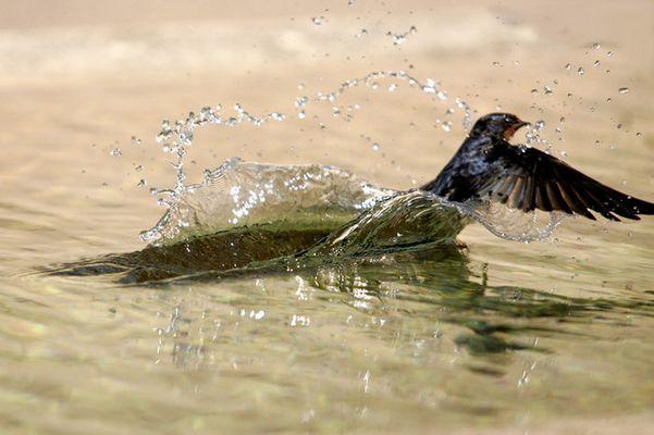 Badende Rauchschwalbe am Brunnen