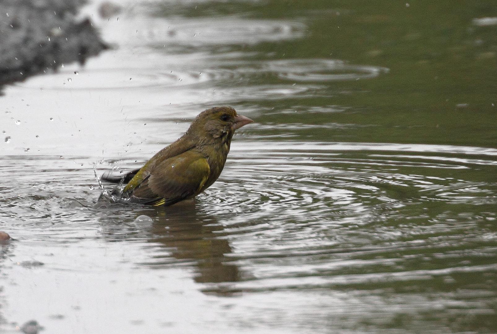 Badender Grünfink