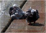 Badetag bei den Tauben