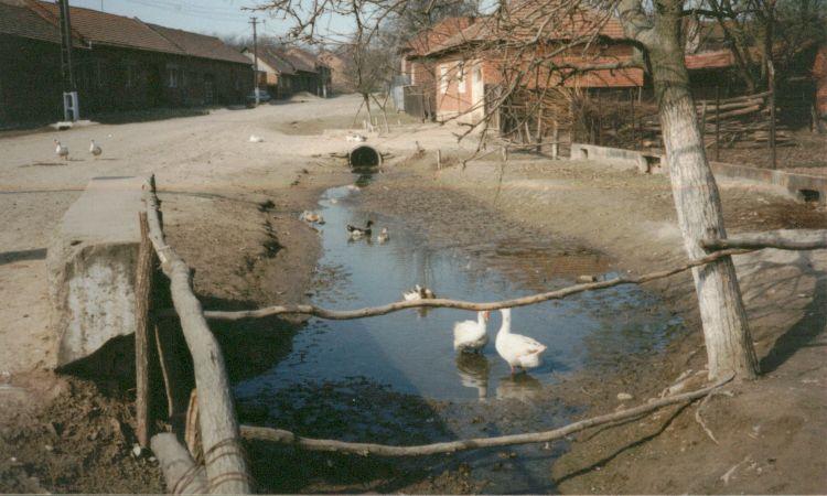 Badezeit! Gaense in Bichigi / Rumaenien