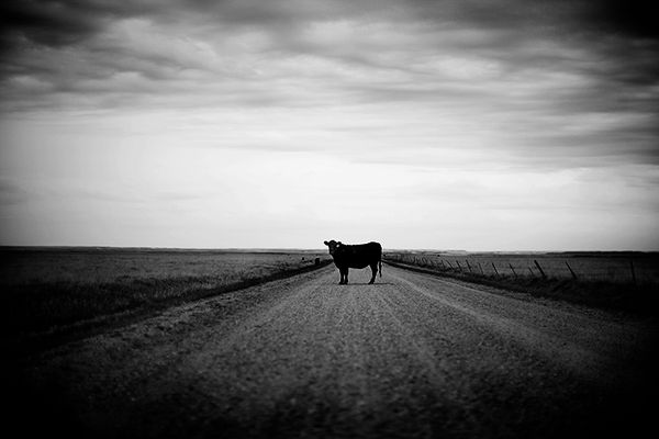 Badlands Cow in the Road #1