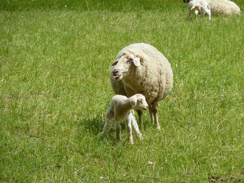 Bäh, mein Lamm ist das Herzigste