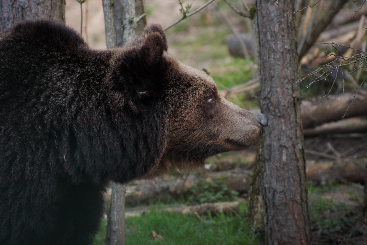 Bär *3