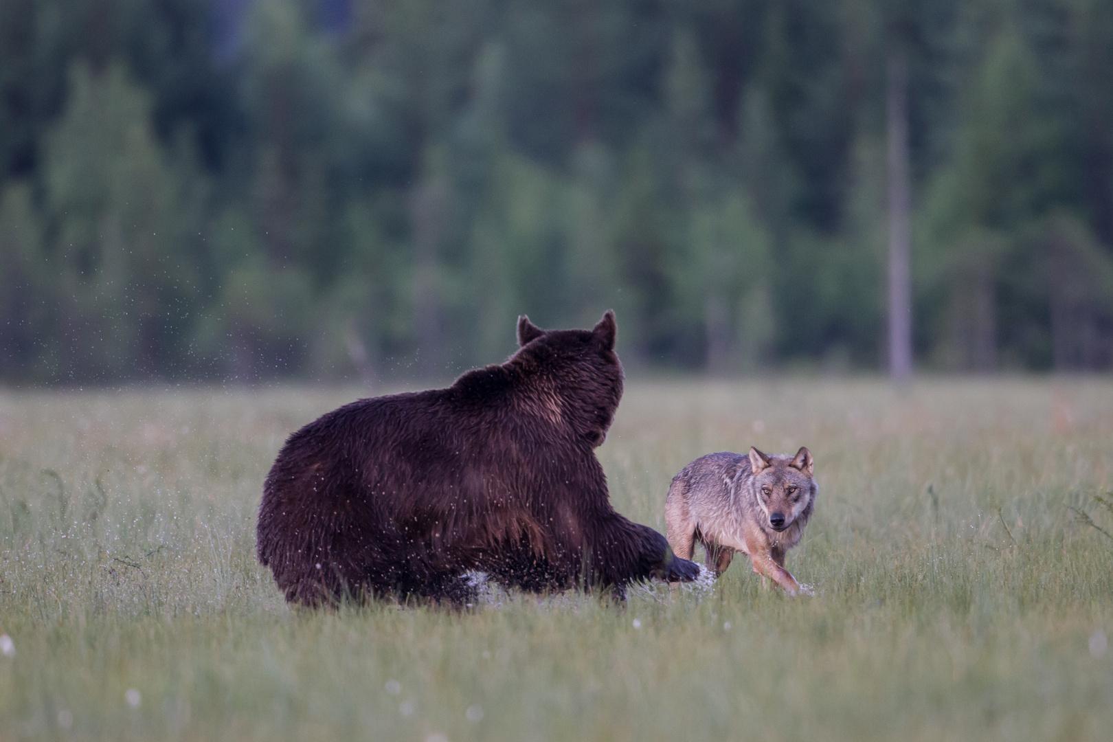 Bär und Wolf: Wer bestimmt den Kampf ?