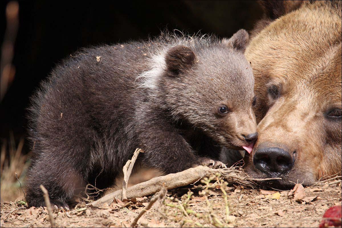Bären - 1