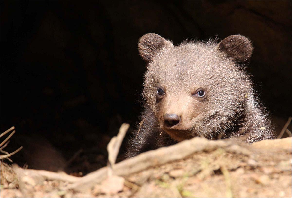 Bären - 10