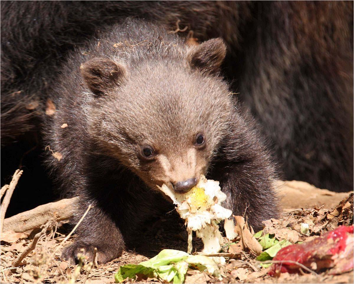 Bären - 3