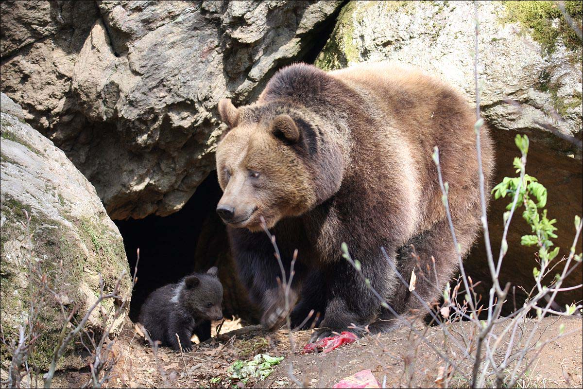 Bären - 4