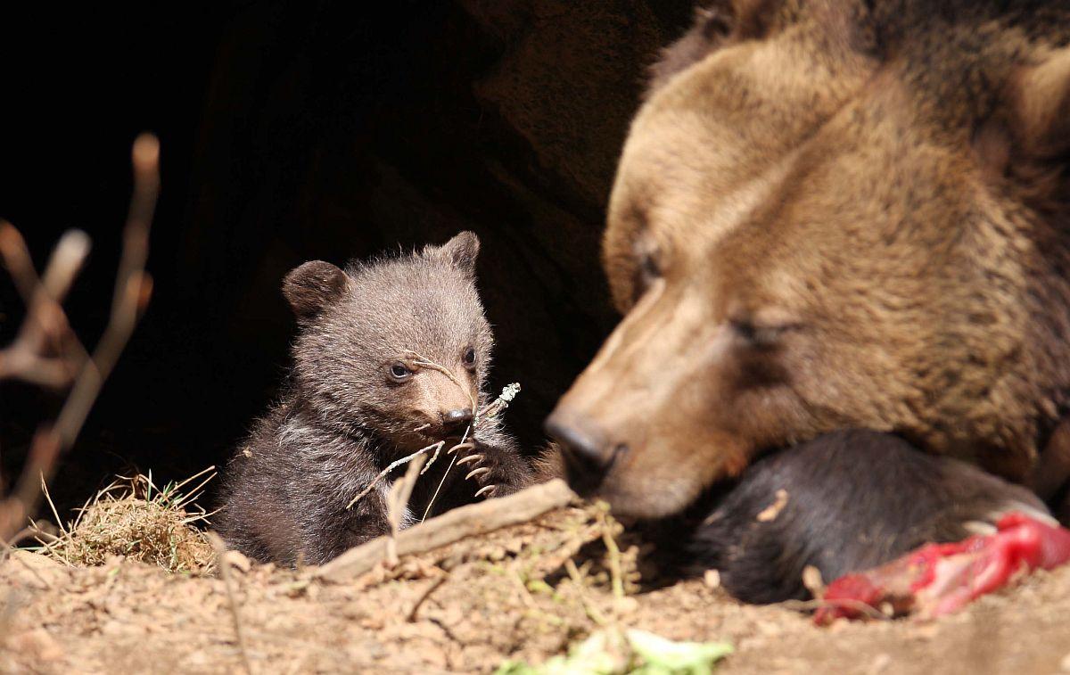 Bären - 5