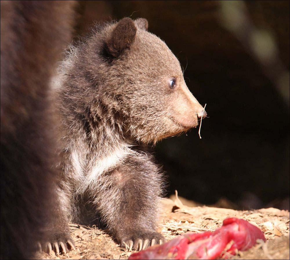 Bären - 8