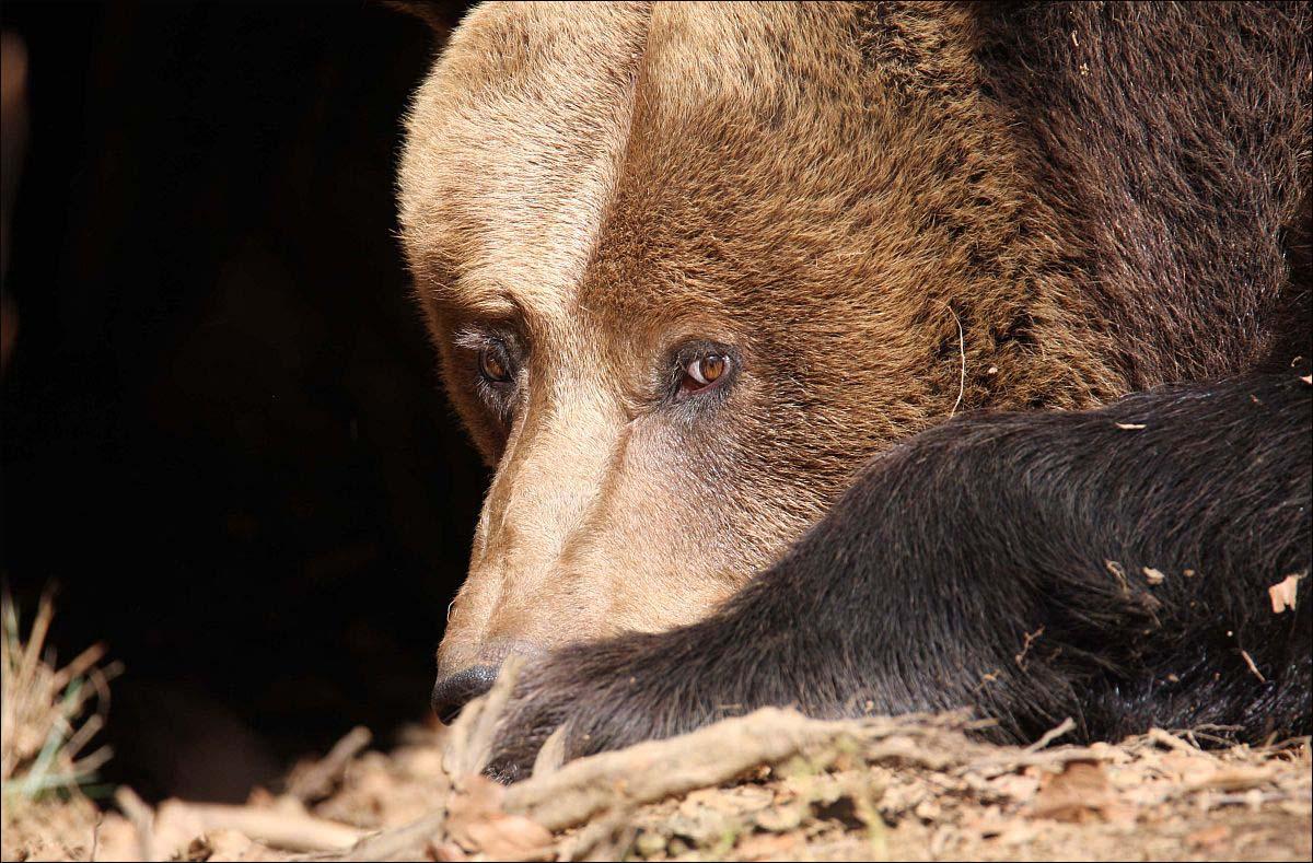 Bären - 9
