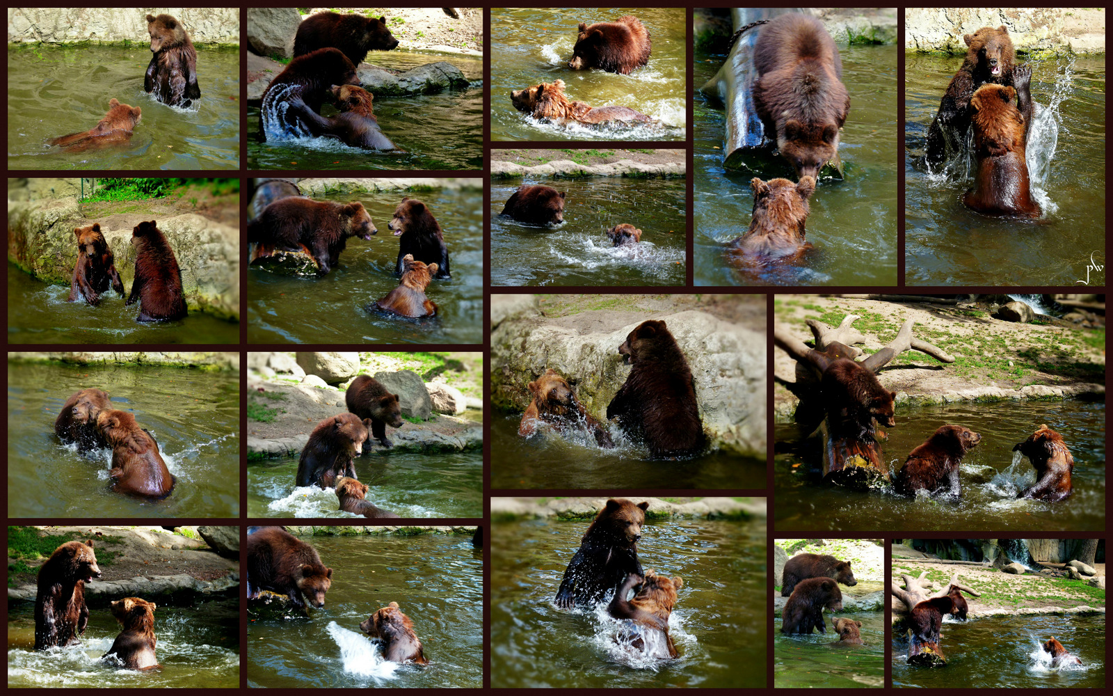 Bären bei Hagenbeck  -  Drei junge Braunbären beim Spielen