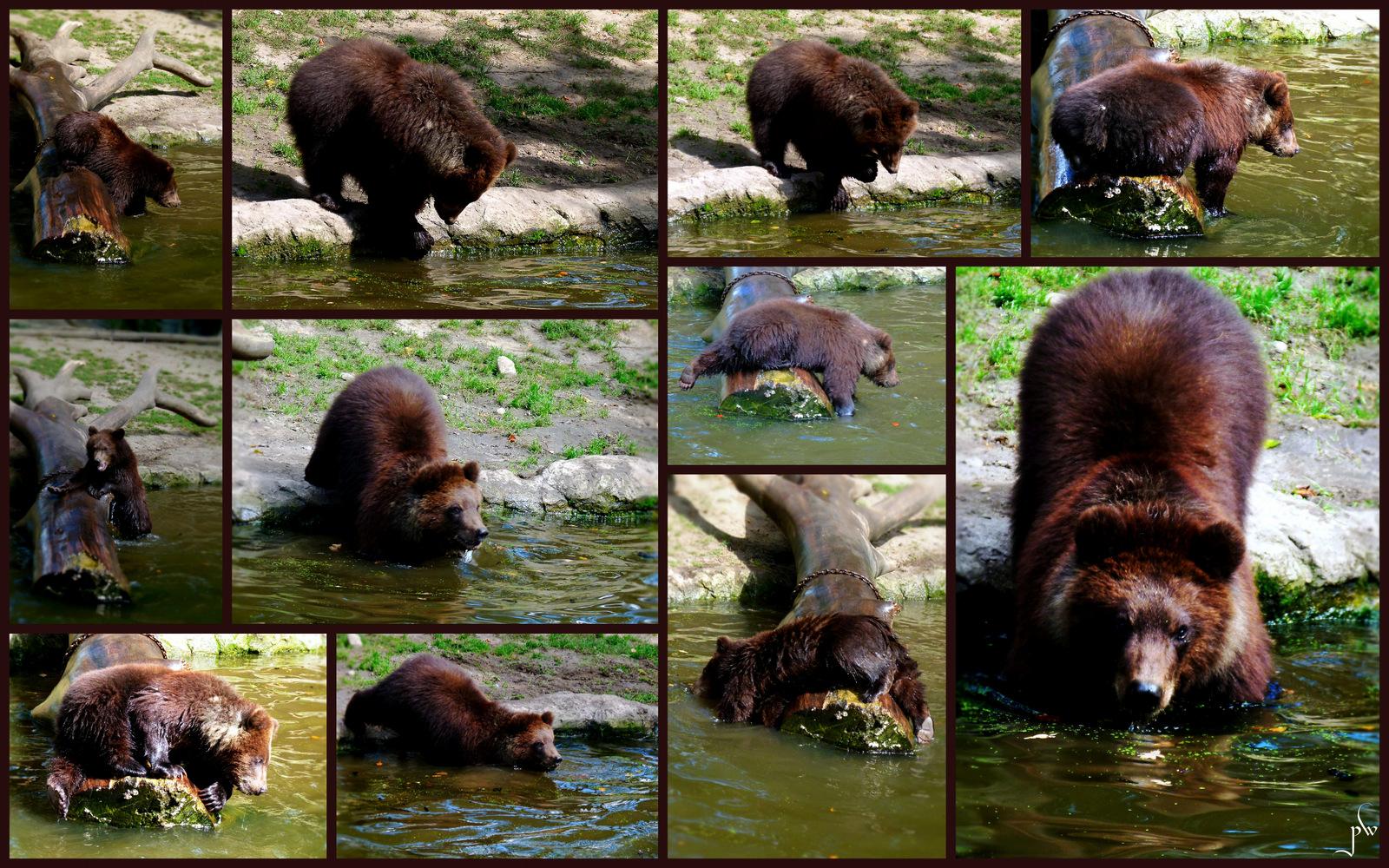 Bären bei Hagenbeck  -  Wasserscheu  ?