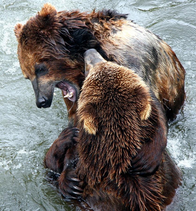 Bären beim Spielen